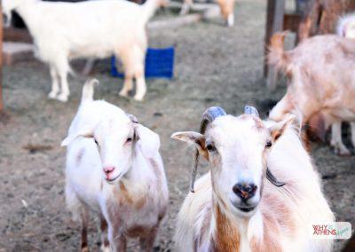 Margi Farm Athens Goats